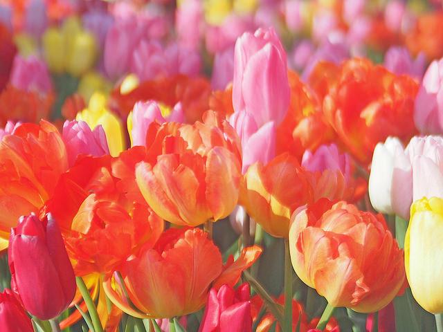 Tulips, チューリップ / T.Kiya
