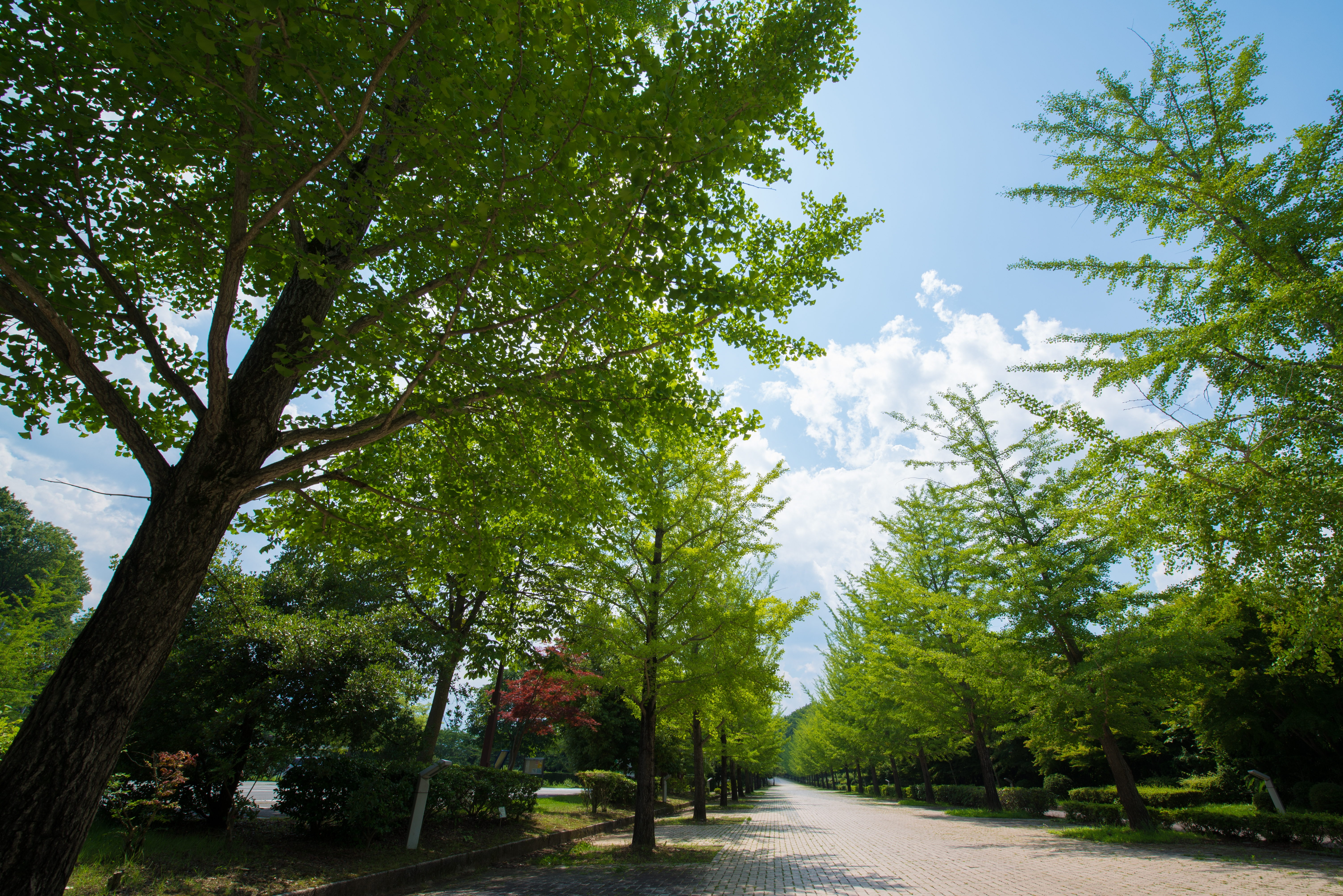 緑の銀杏並木