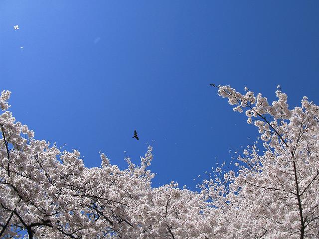 Cherry blossoms / Sakura / 桜 / TANAKA Juuyoh (田中十洋)