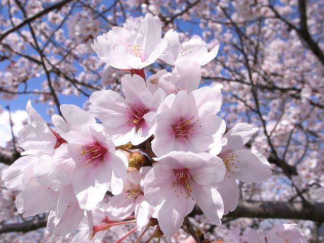 """桜10 Cherry blossom / """"KIUKO"""""""