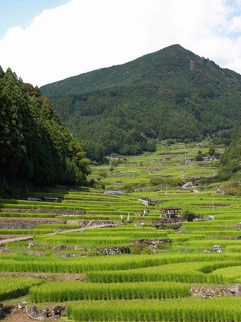 """千枚田 Rice terraces / """"KIUKO"""""""