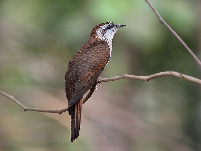 Banded Bay Cuckoo / SivamDesign