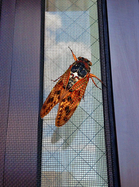 Cicada 蝉 / Cool-Rock.com