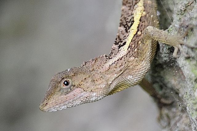紅眼蜥蜴... / Hsiung/d6478coke